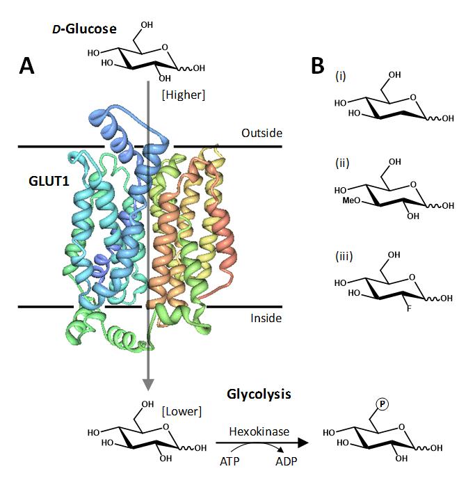 Figure 1. The human facilitative glucose transport protein GLUT1.