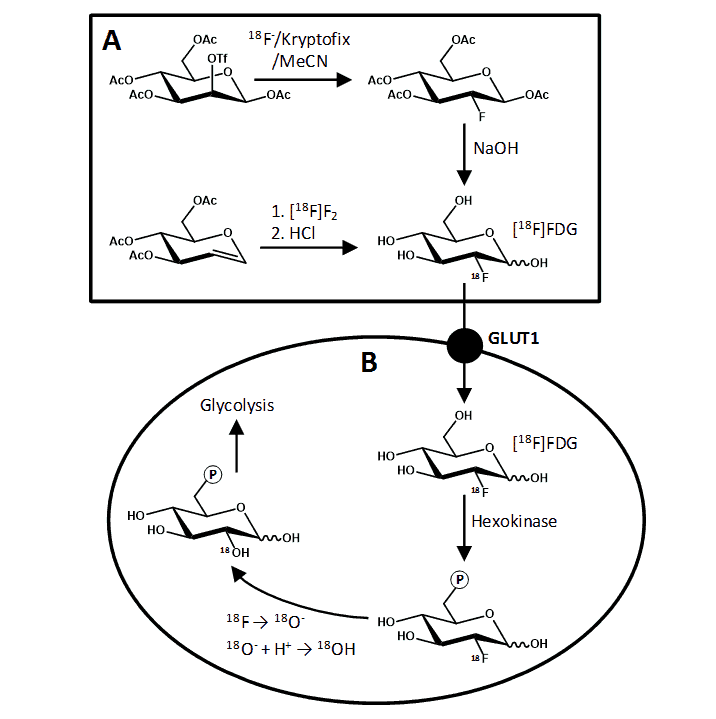 Figure 3. Synthesis and metabolism of [18F]FDG